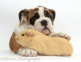 Bulldog puppy and yellow Guinea pig