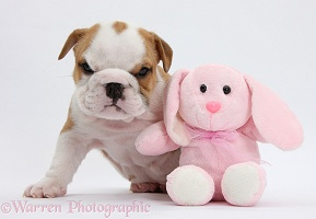 Bulldog puppy, 5 weeks old, and pink toy rabbit