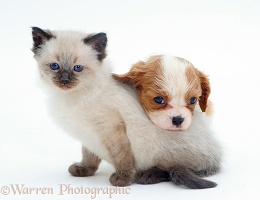 Cavalier pup with Ragdoll kitten