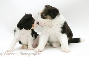 Cavalier and Border Collie pups