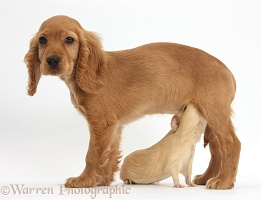 Golden Cocker Spaniel puppy and yellow Guinea pig