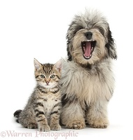 Cute tabby kitten with yawning Daxiedoodle pup