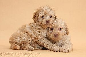 Toy Labradoodle puppies on beige background