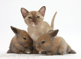 Burmese kitten with baby rabbits