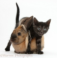 Black kitten and Lionhead-cross rabbit