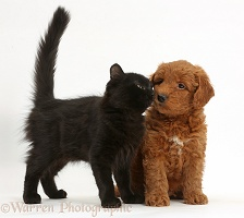Cute red F1b Goldendoodle pup and black kitten