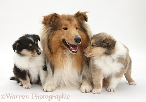 Rough Collie dog and puppies
