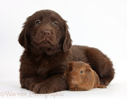 Flatcoated Retriever puppy and baby Guinea pig