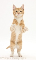 Ginger kitten standing with paws raised
