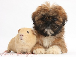 Brown Shih-tzu pup and yellow Guinea pig