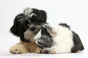 Black-and-white Shih-tzu pup and Guinea pig