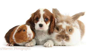 Blenheim Cavalier pup with rabbit and Guinea pig