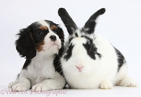 Black-and-white rabbit with Cavalier pup