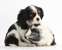 Guinea pig with Cavalier pup