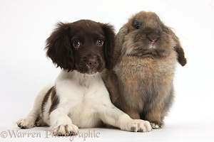 Chocolate-and-white Cocker Spaniel puppy and rabbit