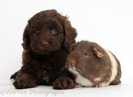 Cute chocolate Toy Goldendoodle puppy and Guinea pig