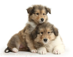 Two sable Rough Collie pups, 7 weeks old