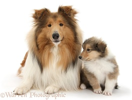 Rough Collie dog and puppy