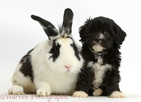 Black-and-white Cavapoo pup and rabbit