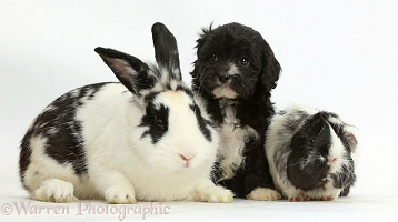 Black-and-white Cavapoo pup with rabbit and Guinea pig