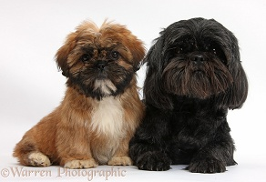 Brown Shih-tzu pup and black Shih-tzu bitch
