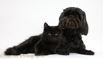 Black Shih-tzu pup and black Maine Coon kitten