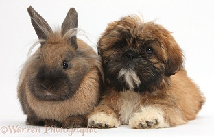 Brown Shih-tzu pup and rabbit