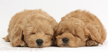 Cute sleeping F1b Goldendoodle puppies