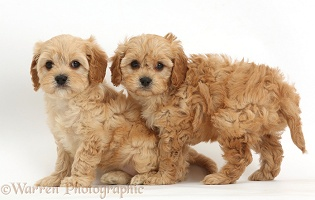 Two cute Cavapoo puppies