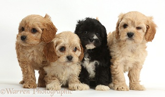 Four cute Cavapoo puppies
