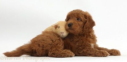 Red F1b Goldendoodle puppy and yellow Guinea pig
