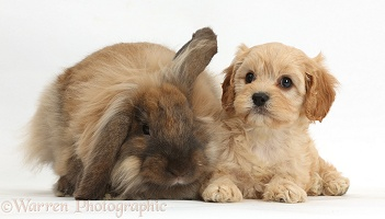 Cute Cavapoo pup and rabbit