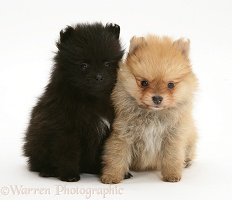 Black and sable Pomeranian pups
