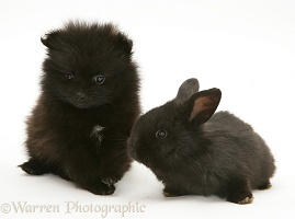 Black Pomeranian pup and black baby rabbit