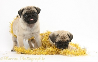 Fawn Pug pups, playing with Christmas tinsel