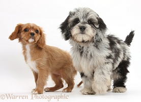 Black-and-grey Daxiedoodle pup, and Ruby Cavalier pup