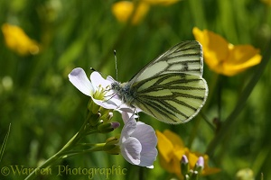 Green-veined White butterfly on cuckoo flower