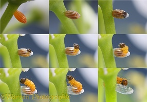 Orange tip egg series