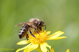 Honey bee on ragwort
