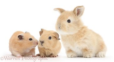 Baby Guinea pig, rabbit and Golden Hamster