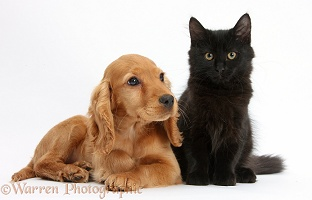 Black Maine Coon kitten and Golden Cocker Spaniel pup