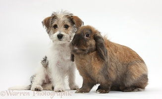Cute Bichon Frise x Jack Russell puppy and rabbit