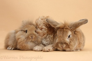 Toy Labradoodle puppy and rabbits