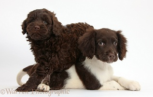Cocker Spaniel puppy and chocolate Goldendoodle pup
