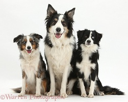 Mini American Shepherds and Border Collie