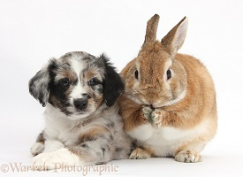 Merle Mini American Shepherd puppy and rabbit