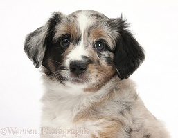 Merle Mini American Shepherd puppy