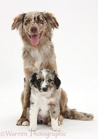 Red Merle Mini American Shepherd and pup