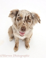 Red Merle Mini American Shepherd