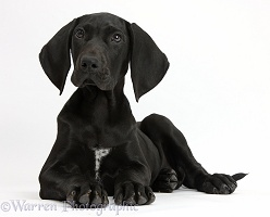 Black Pointer puppy